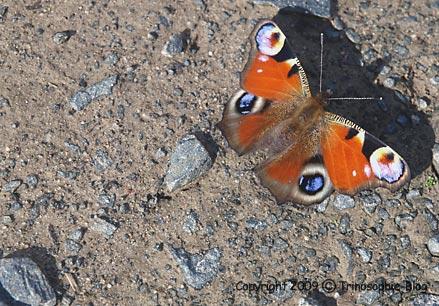 Sterbender Schmetterling © Kô-Sen 2009
